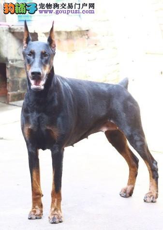 纯种杜宾犬看家户主猛犬凶悍狗狗出售