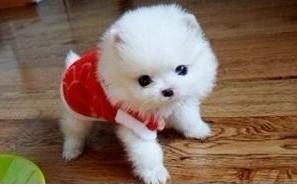 茶杯犬长不大的幼犬袖子狗狗可以放杯子的狗狗