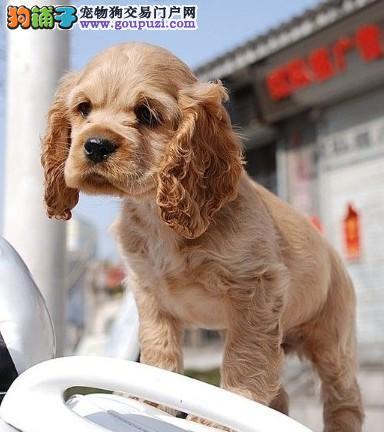 纯血统可卡幼犬 假一赔十价位最低 三年联保协议