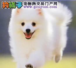银狐幼犬纯种健康公母齐全终生质保合同