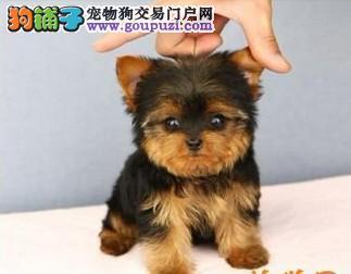 正规狗场犬舍直销约克夏幼犬优质售后服务