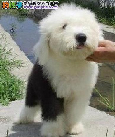 杭州哪里出售古代牧羊犬 杭州哪里有古代牧羊犬价格