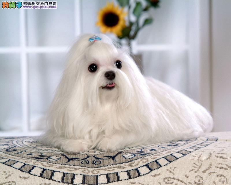 纯白天使 狗中的贵妇狗 马尔济斯品相纯正