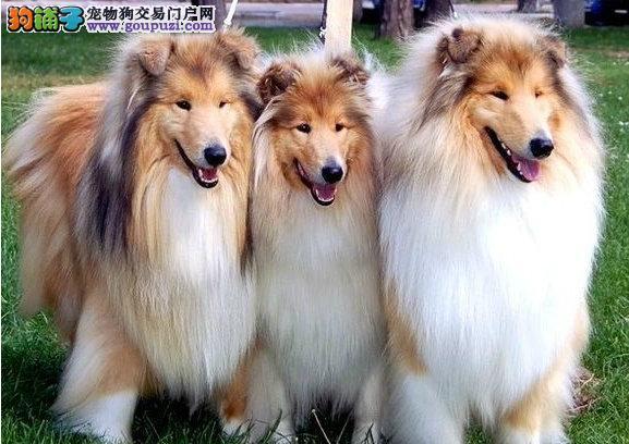 常德CKU认证犬舍出售高品质苏牧欢迎您的指导