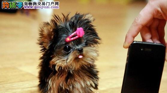 广州要到哪里买狗狗广州哪里有卖约克夏照片约克夏价格