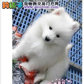 郑州出售极品银狐犬幼犬完美品相微信咨询欢迎选购