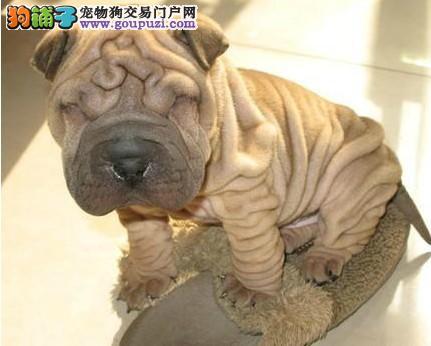 极品沙皮狗出售,真实照片视频挑选,质保健康90天