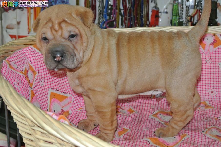 家养沙皮狗出售 品质优良血统纯正 签协议可送货