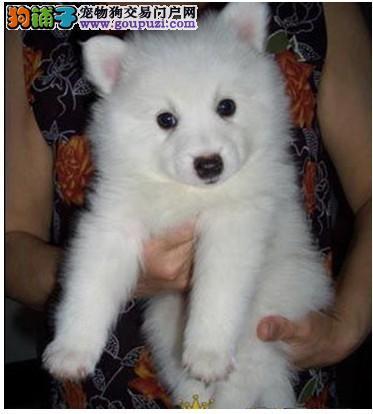 AC国际联保专业繁殖赛级银狐幼犬/品质保证健康质保