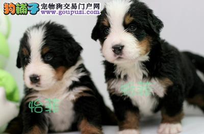 纯种伯恩山幼犬出售(上海伯恩山特价出售)