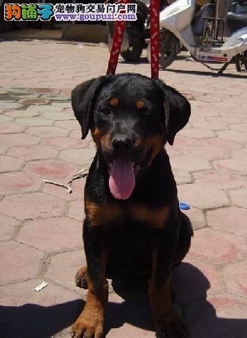 出售罗威纳幼犬高品质,头版好骨量大,血统纯正正规基地