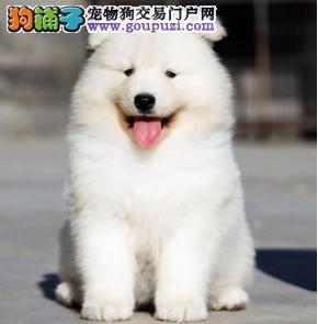 喜欢出风头微笑天使萨摩耶幼犬苏州开卖 骨骼粗毛量足