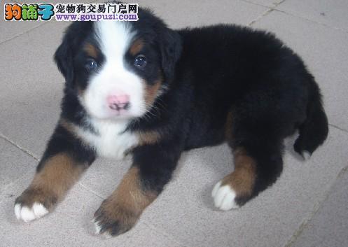 赛级品相朝阳伯恩山幼犬低价出售专业品质一流