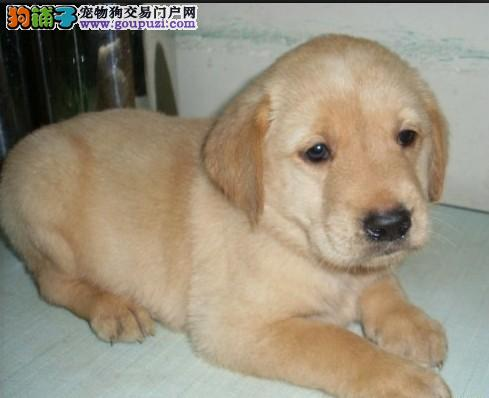 纯种极品导盲犬拉布拉多品质健康保证欢迎上门选购