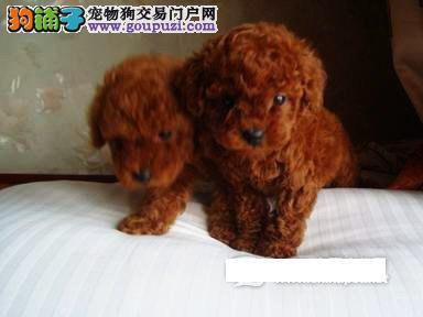 石家庄自家繁殖的纯种茶杯犬找主人专业品质一流