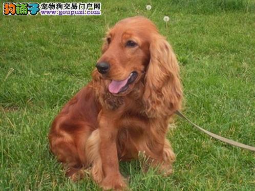 可卡幼犬出售自产自销可见狗狗妈妈