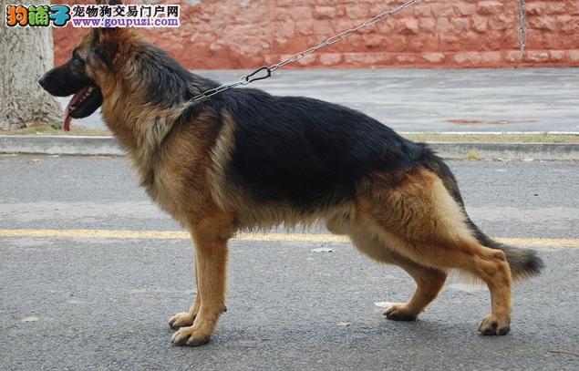 苏州CKU认证犬舍出售高品质德国牧羊犬终身完善售后服务