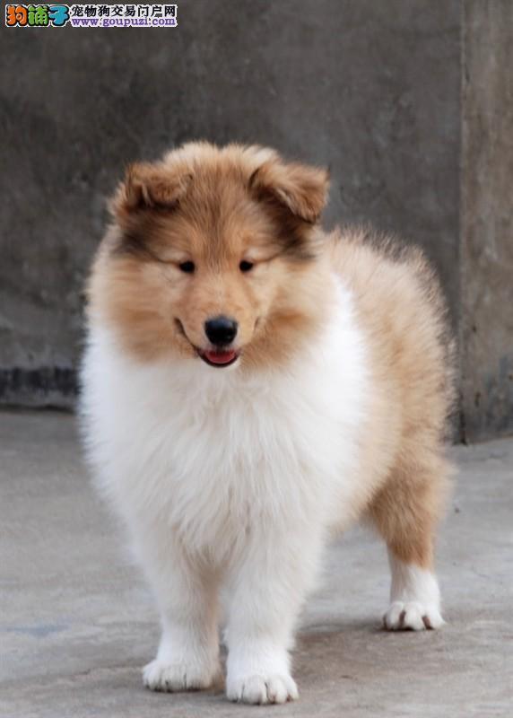 中型犬喜乐蒂黄浦哪里有卖喜乐蒂价格要多少钱喜乐蒂