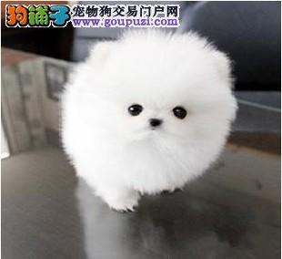 精品茶杯犬幼犬一对一视频服务买着放心喜欢加微信可签署协议