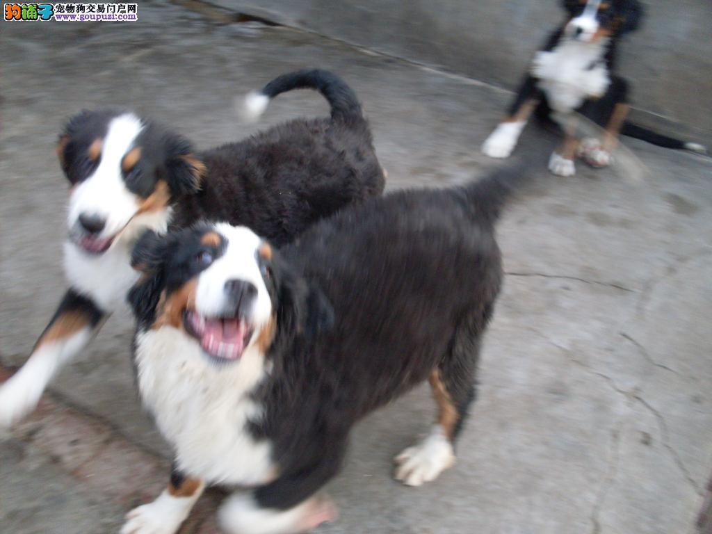 出售瑞士伯恩山犬纯种,幼犬成犬欢迎前来选购
