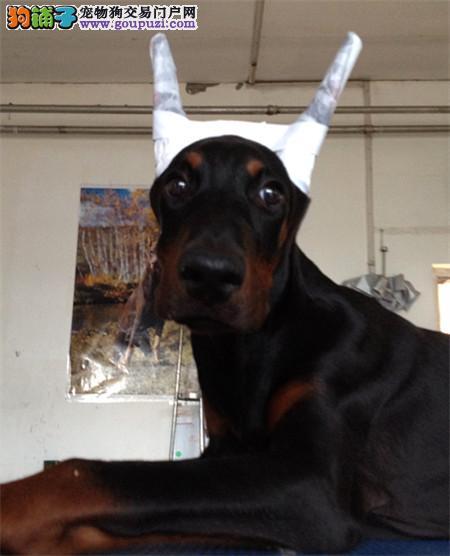 贵族纯正杜宾犬,公母均有多只选择,提供养狗指导