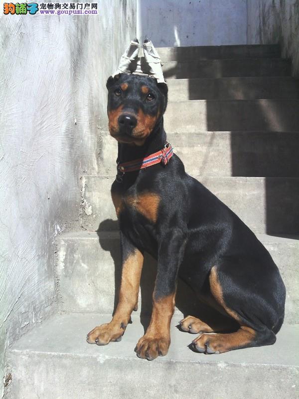 纯正德美系杜宾猎犬出售公母都有赛级品相保健康
