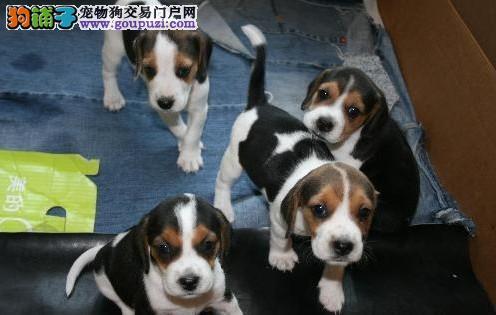 自家狗场繁殖直销比格犬幼犬品相一流疫苗齐全