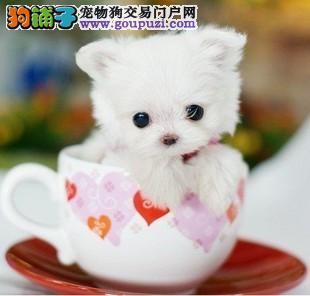 多种颜色的茶杯犬找爸爸妈妈终身售后协议