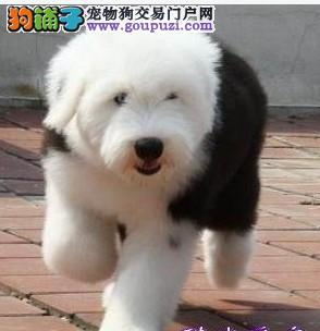 完美品相血统纯正咸阳古代牧羊犬出售爱狗人士优先狗贩勿扰