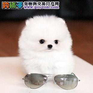 实体店低价促销赛级茶杯犬幼犬真实照片视频挑选