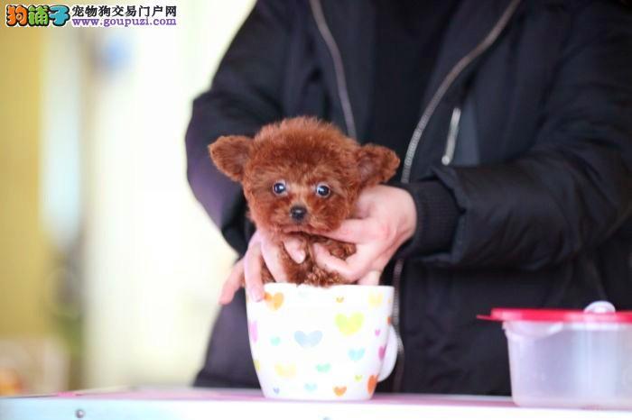 茶杯泰迪熊,玩具泰迪熊,包纯种,包健康