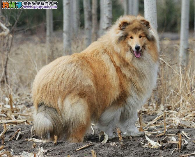 出售纯种苏格兰牧羊幼犬,自己基地繁育出来的幼犬