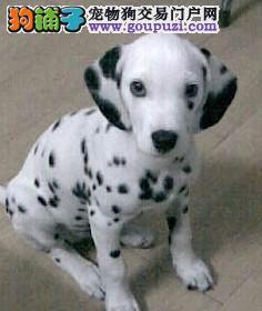 纯血统斑点狗幼犬,纯度第一品质第一,寻找它的主人