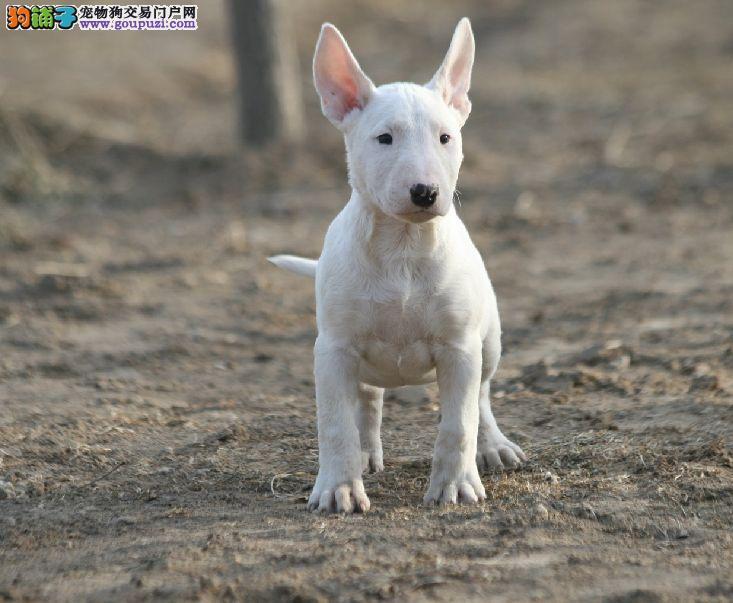 CKU认证犬舍 专业出售极品 牛头梗幼犬真实照片视频挑选