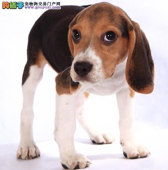 精品纯种郑州比格犬出售质量三包保证品质完美售后