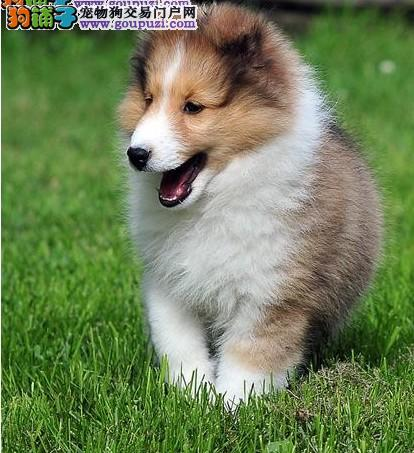 南昌知名犬舍出售多只赛级喜乐蒂我们承诺售后三包