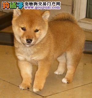 精品柴犬幼犬一对一视频服务买着放心赠送全套宠物用品