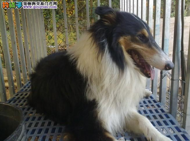 出售纯种苏格兰牧羊犬幼犬。