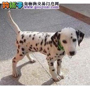 天津出售斑点狗幼犬品质好有保障保障品质售后