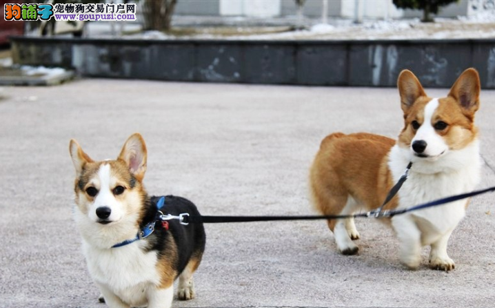 国际注册犬舍 出售极品赛级柯基幼犬上门可见父母