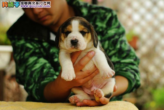 纯种犬繁殖基地出售高品质赛级比格幼犬签订售后协议