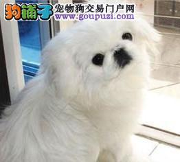 极品纯正的兰州京巴幼犬热销中金牌店铺有保障