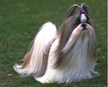 郑州自家繁殖西施犬出售公母都有期待您的咨询