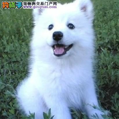 纯种可爱日本尖嘴银狐 育苗驱虫做好