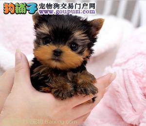 火爆出售血统纯正的武汉约克夏微信看狗可见父母
