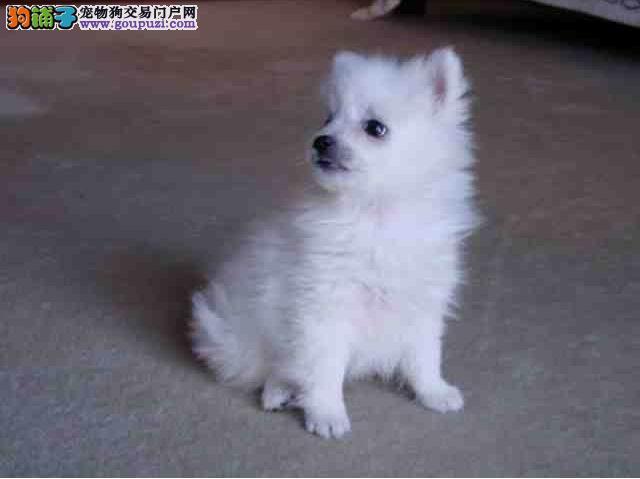 出售优质银狐幼犬需要的联系哦