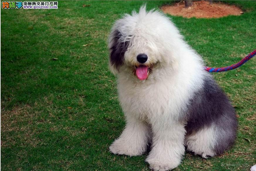 广州什么地方有卖宠物狗 广州卖古牧犬的地方