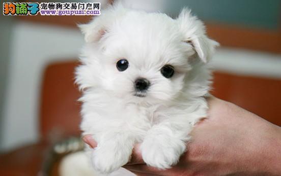 高品质 纯血统 茶杯犬吧 幼犬出售