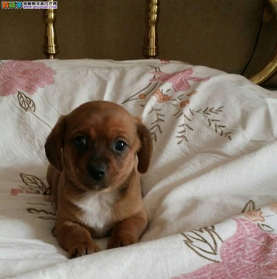 杭州腊肠犬价格纯种腊肠犬杭州什么地方有卖腊肠犬