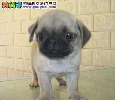郑州CKU认证犬舍出售高品质巴哥犬微信看狗可见父母